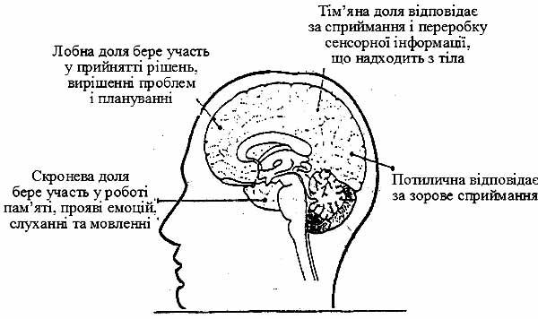 Зображення мозку в розрізі